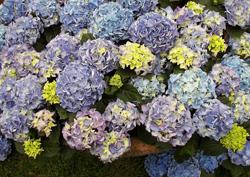 Blaue hortensie rilke